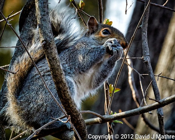 Squirrel with a nut on a sunny winter day. Backyard nature in New Jersey. Image taken with a Nikon 1 V1 camera, FT1 adapter, and 70-200 mm f/2.8 VRII lens (ISO 400, 200 mm, f/8, 1/160 sec). (David J Mathre)