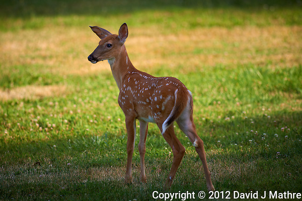 Fawn with Spots. Summer Backyard Nature in New Jersey. Image taken with a Nikon D800 and 300 mm f/2.8 VR lens (ISO 100, 300 mm, f/2.8, 1/500 sec). (David J Mathre)