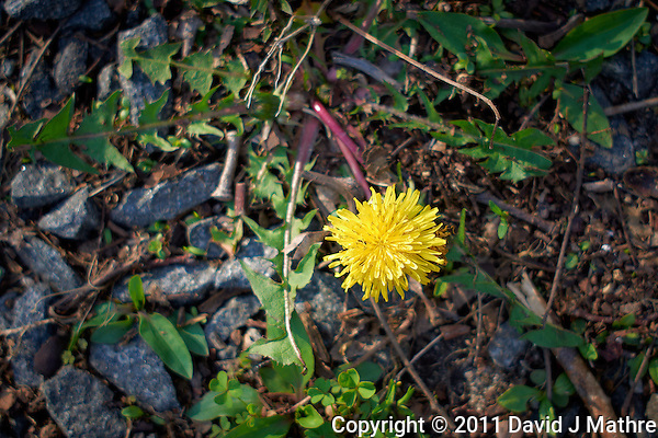 First Dandelion of Spring. Image taken with a Leica X1 (ISO 100, 24 mm, f/2.8, 1/250 sec). (David J Mathre)
