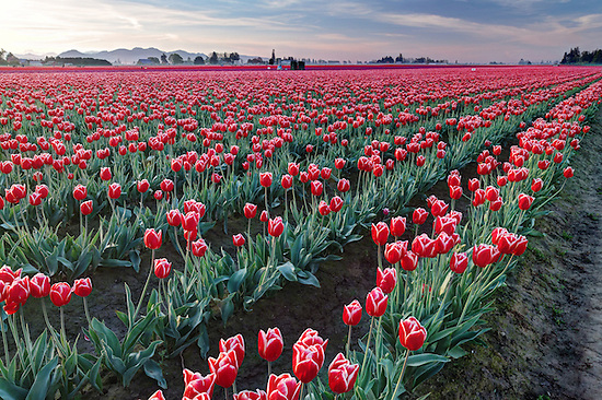 Rows of red and white tulips, Mount Vernon, Skagit Valley, Skagit County, Washington, USA (Brad Mitchell)