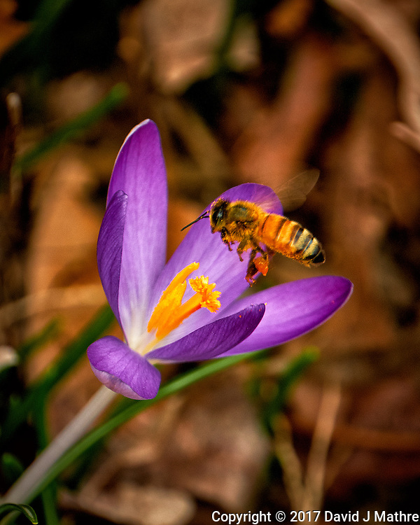 First Hint of Spring -- Early crocus flower with a honey bee across the street. Winter nature in New Jersey. Image taken with a Fuji X-T2 camera and 100-400 mm OIS lens (ISO 200, 400 mm, f/5.6, 1/250 sec) (David J Mathre)