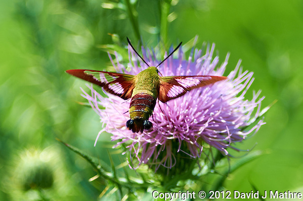 Clearwing Hummingbird Moth on a Thistle Bloom. Summer Nature in New Jersey. Image taken with a Nikon D4 and 300 mm f/2.8 VR lens (ISO 100, 300 mm, f/2.8, 1/1000 sec). (David J Mathre)