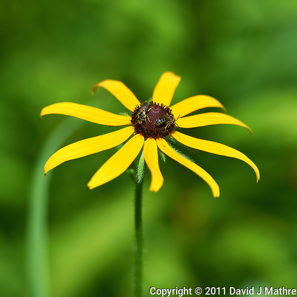 Black Eyed Susan. Summer Wildflowers at the Sourland Mountain Reserve.  Image taken with a Nikon D3s and 70-200 mm  f/2.8 VR lens + TC-E III 20 teleconverter (ISO 200, 400 mm, f/5.6, 1/1250 sec). Raw image processed with Capture One Pro, Focus Magic, and Photoshop CS5. (David J Mathre)
