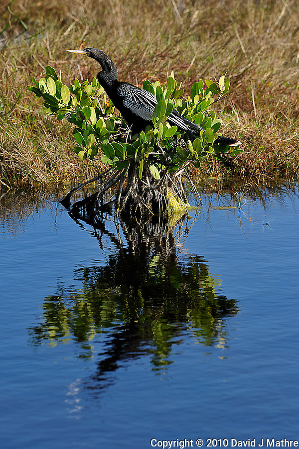 Anhinga Sunning at Merritt Island National Wildlife Reserve. Image taken with an Nikon D3x and 300  mm  f/2.8 VR lens (ISO 125, 300 mm, f/8, 1/250 sec). (David J Mathre)