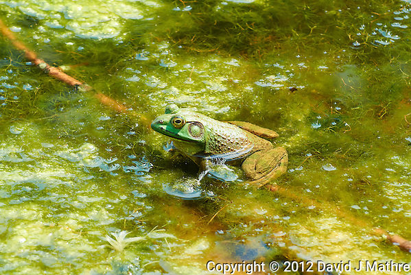 Bullfrog in a Pond at the Sourland Mountain Preserve. Summer Nature in New Jersey. Image taken with a Nikon 1 V1 + FT1 + 70-300 mm VR lens (ISO 200, 135 mm, f/5.6, 1/320 sec) and monopod. FOV Equivalent to ~ 365 mm on a 35 mm image sensor. (David J Mathre)