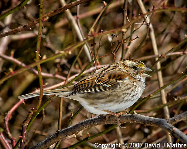 White-throated sparrow singing in the vines. Late winter backyard wildlife in New Jersey. Image taken with a Nikon D2xs camera and 80-400 mm VR lens (ISO 400, 400 mm, f/12, 1/500 sec). (David J Mathre)