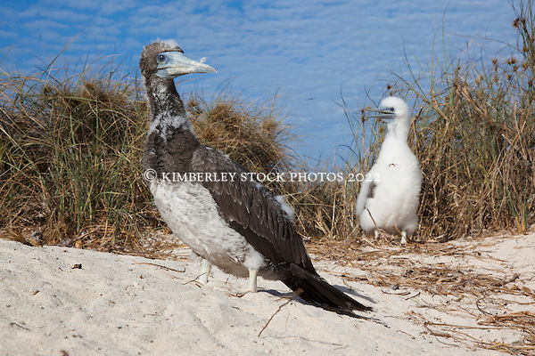 Two Brown Booby chicks  (Sula leucogaster) on the Lacepede Islands to the north of Broome. (Annabelle Sandes/© Annabelle Sandes | Kimberley Media 2011)