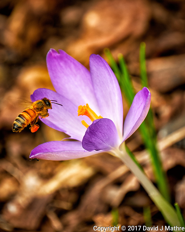 First Hint of Spring -- Early crocus flower with a honey bee across the street. Winter nature in New Jersey. Image taken with a Fuji X-T2 camera and 100-400 mm OIS lens (ISO 200, 400 mm, f/5.6, 1/125 sec) (David J Mathre)
