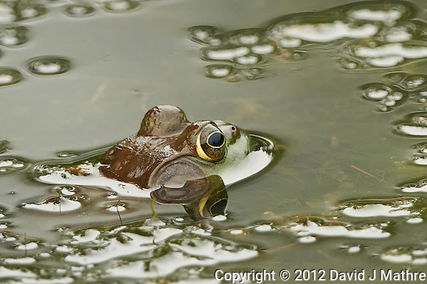 Bullfrog in a Pond at the Sourland Mountain Preserve in New Jersey. Image taken with a Nikon D800 and 500 mm f/4 VRII lens (ISO 800, 500 mm, f/4, 1/800 sec). Crop of image taken with the center focus sensor. (David J Mathre)