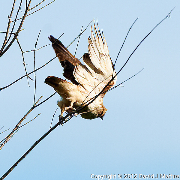Red Tailed Hawk Looking for Dinner in My Backyard. Image taken with a Nikon D3x and 500 mm f/4 VR lens (ISO 100, 500 mm, f/5.6, 1/640 sec). (David J Mathre)