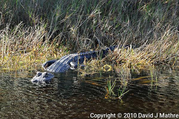 Alligator Sunning at Merritt Island National Wildlife Reserve. Image taken with an Nikon D3x and 300  mm  f/2.8 VR lens (ISO 220, 300 mm, f/8, 1/250 sec). (David J Mathre)