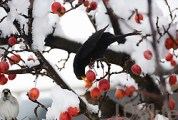 A blackbird (Turdus merula) and sparrow eating red berries on a bare tree covered in snow in the middle of winter. (Photo © Boianna / Loxarte. All Rights Reserved and Moral Rights Asserted.)