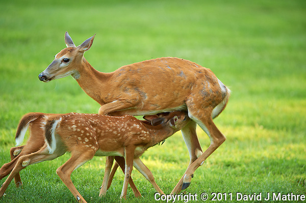Milking Time Twin Fawns and Doe. Summer Backyard Nature in New Jersey. Image taken with a Nikon D3s and 400 mm f/2.8G II lens (ISO 450, 400 mm, f/2.8, 1/400 sec). (David J Mathre)