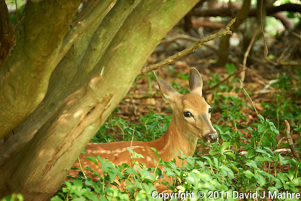 Fawn Hiding in the Woods. Summer Nature in New Jersey. Image taken with a Nikon D700 and 28-300 mm VR lens (ISO 1600, 300 mm, f/5.6, 1/40 sec). (David J Mathre)