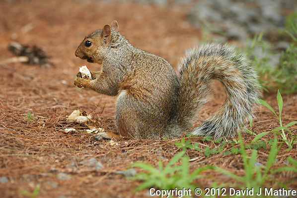 Squirrel Eating a Mushroom. Summer Backyard Nature in New Jersey. Image taken with a Nikon D800 and 300 mm f/2.8 VR lens (ISO 400, 300 mm, f/2.8, 1/125 sec). (David J Mathre)