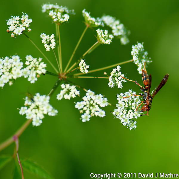 Flying Ant in a Queen Anne's Lace Flower at the Sourland Mountain Reserve.  Image taken with a Nikon D3s and 105 mm  f/2.8 macro lens + TC-E III 20 teleconverter (ISO 200, 205 mm, f/6, 1/500 sec). Raw image processed with Capture One Pro, Focus Magic, and Photoshop CS5. (David J Mathre)