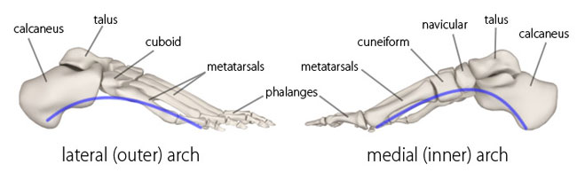 Arches of the Foot - Physiopedia