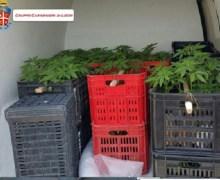 Bianco, 225 piante di canapa nel furgone. Un arresto
