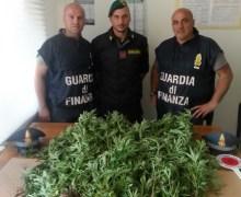 """Operazione """"Sempre Verde"""", sequestrata a Vibo Valentia piantagione di canapa indiana. Due arresti"""