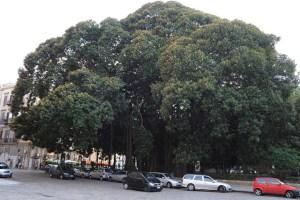 albero-piu-grande-d-europa