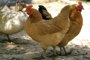 polli-zanzare-638x425