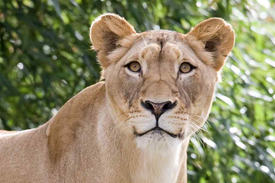Cute Lion Cubs Hd Wallpapers Hd Female Lion Hd Images And Pictures Picamon