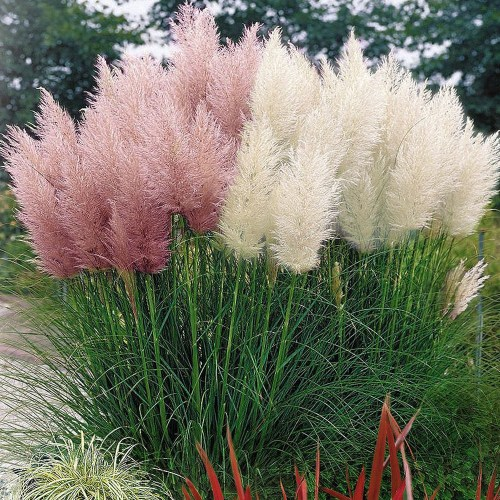 Medium Of Pink Pampas Grass