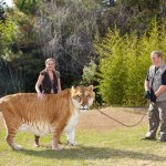 Largest Living Cat Hercules