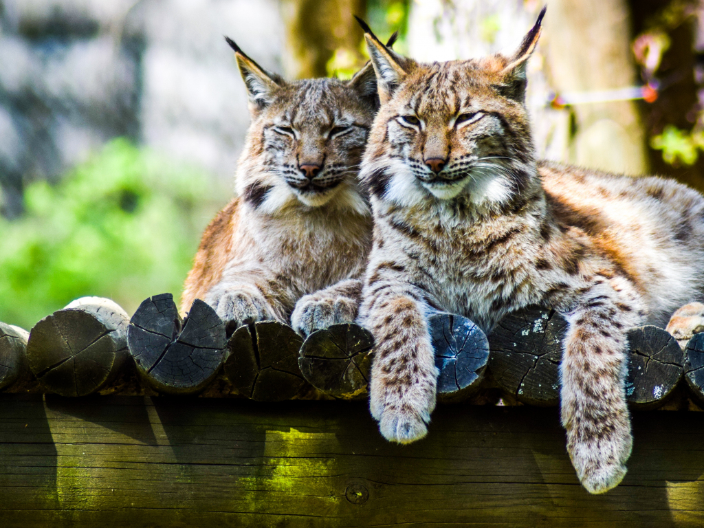 Happiness Quotes Wallpaper Iphone Desktop Wallpaper Cute Wild Cats Lynx Hd Image Picture