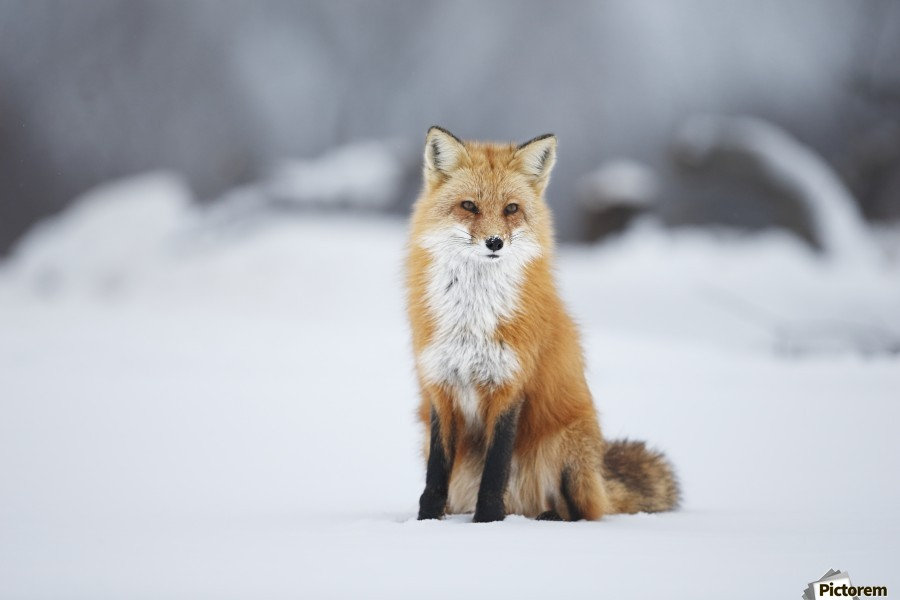 Black And White Animal Wallpaper Male Red Fox Vulpes Vulpes Sitting In The Snow In Winter
