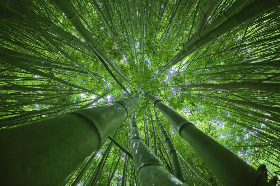Gym 3d Wallpaper Hawaii Maui Bamboo Forest Pacificstock Canvas