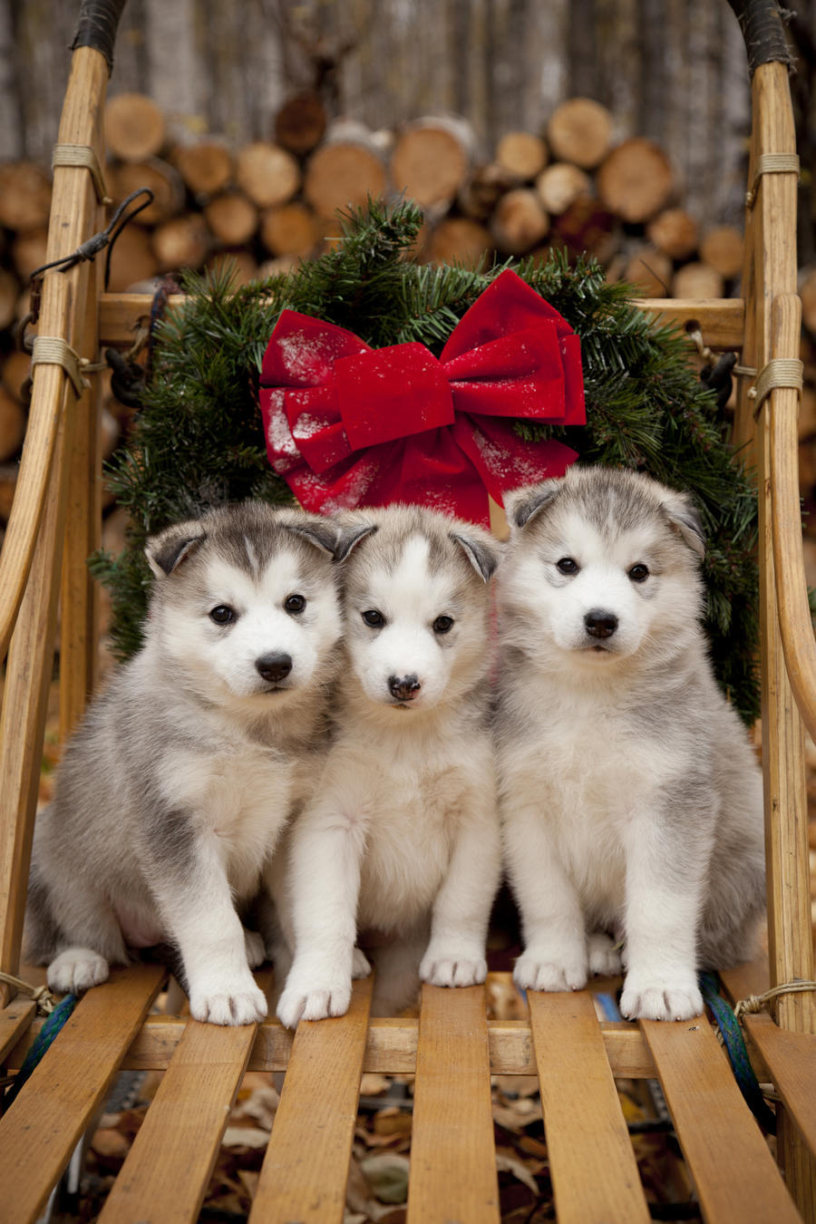 Pink Wallpaper With Cute Puppy Golden Retriever Siberian Husky Puppies In Traditional Wooden Dog Sled With
