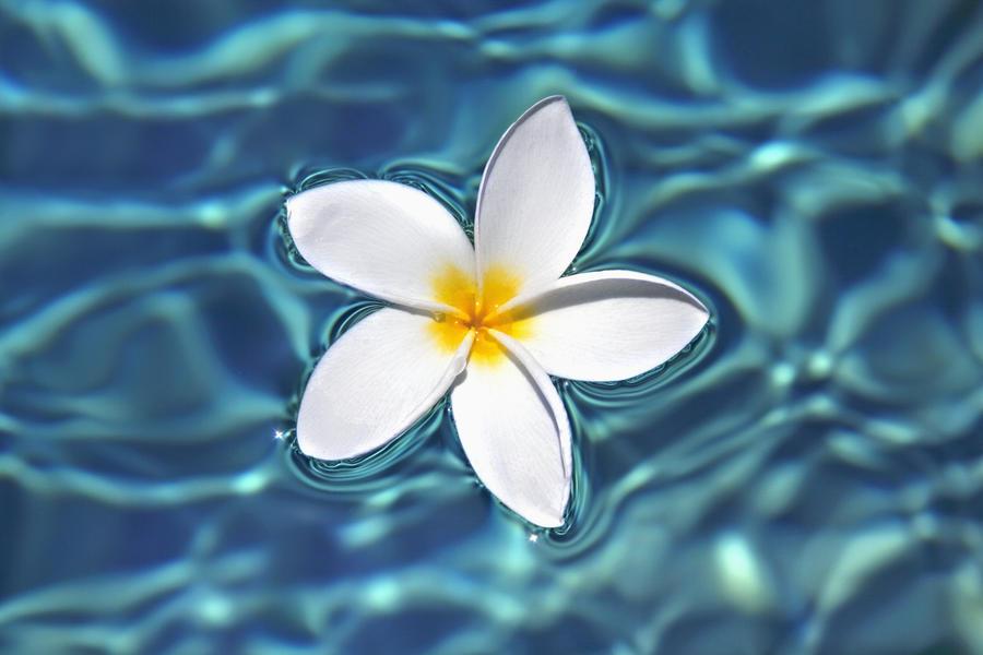 Live Wallpaper Spring Zen Hd 3d Plumeria Flower Floating In Clear Blue Water