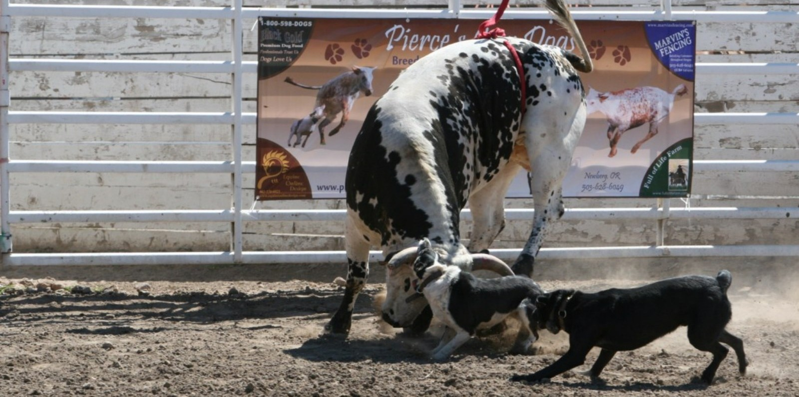 The best working dog for cattle img_2678 hangin tree cowdogs