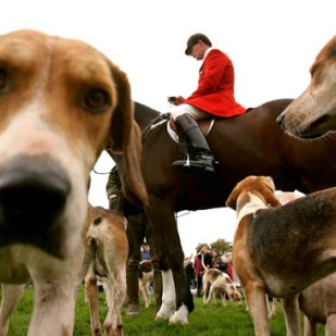Hounds and a member of the 'The Surrey Union Hunt ' are seen during a hunt in the Surrey countryside in southern England October 28, 2006.
