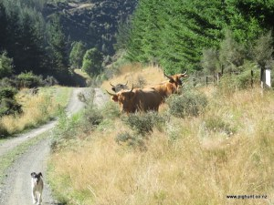 Jeff about to move the cows back around the road towards home