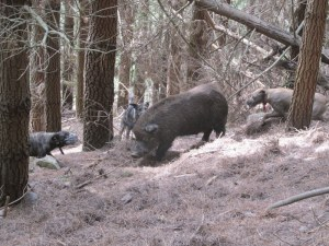 dogs bailing Digger in the pines