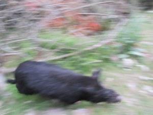Black boar running past me