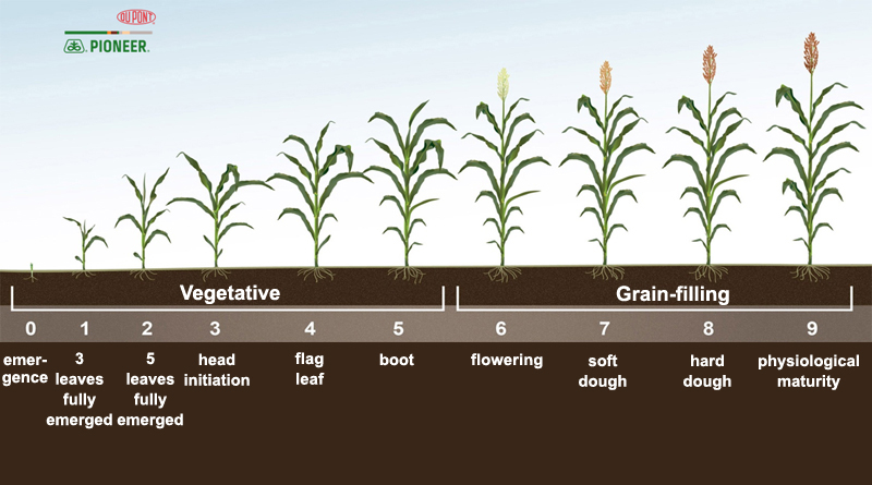 Grain Sorghum Management