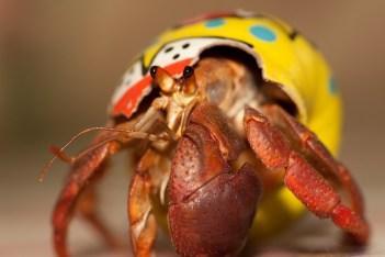 pet hermit crab food