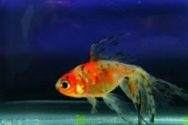 Fish Food Spirulina