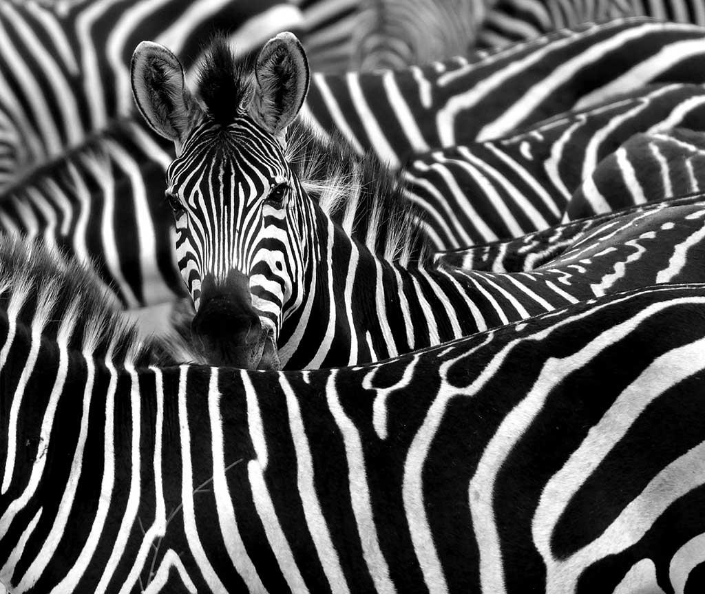 Lion Animal Wallpaper Why Are Zebras Striped Pitara Kids Network