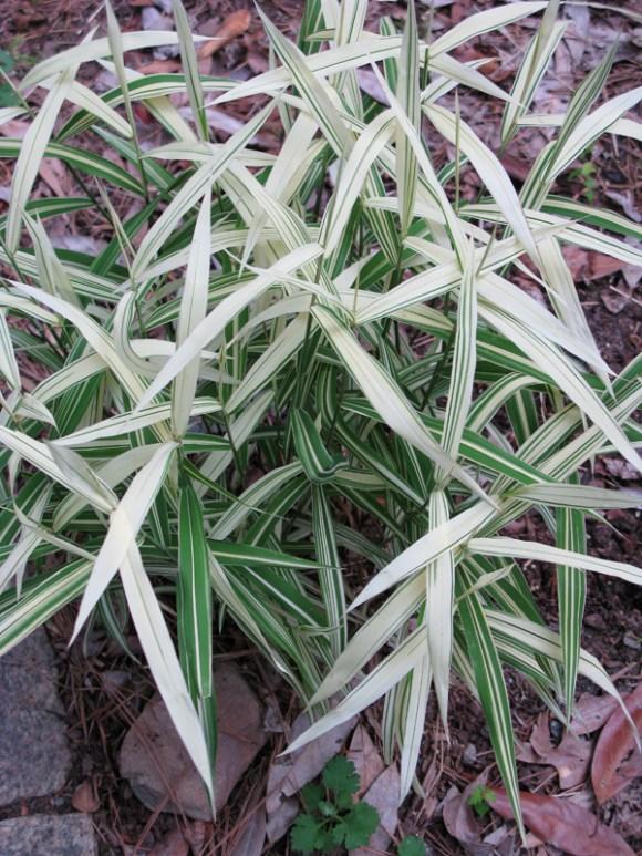 chasmanthium latifolia