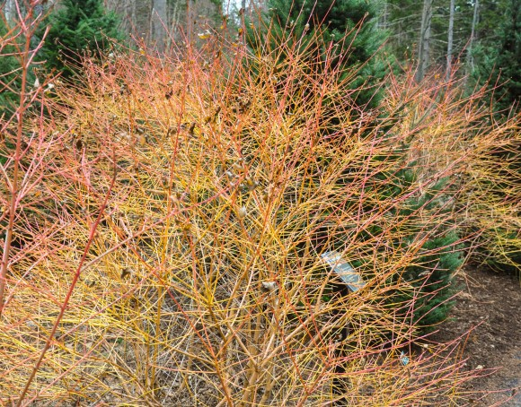 Winter Flame Dogwood