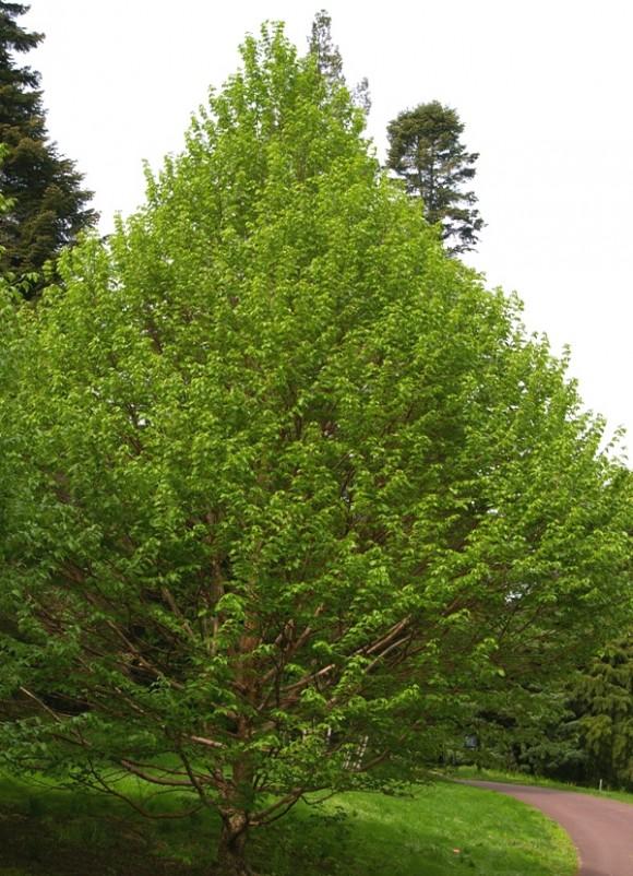Corylus fargesii John Grimshaw plant