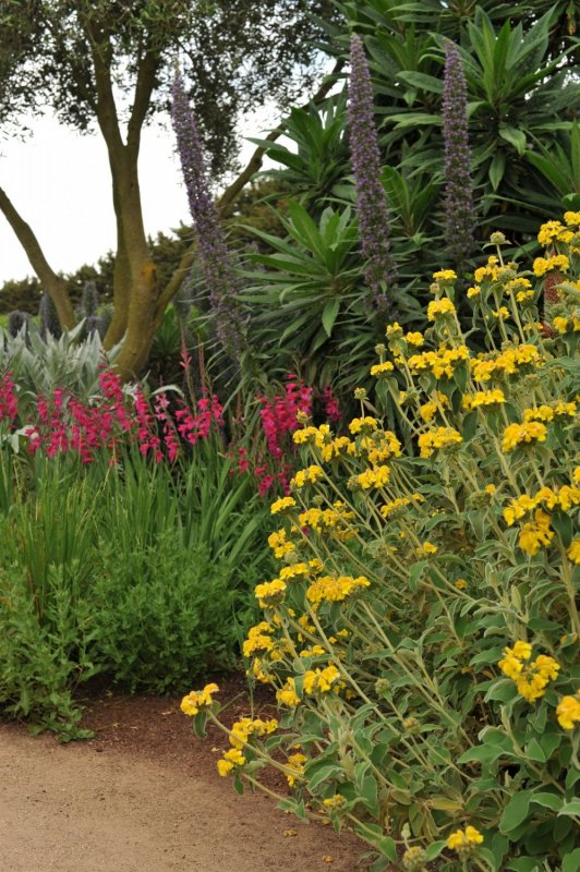 Phlomis and Gladiolus at lambley nursery