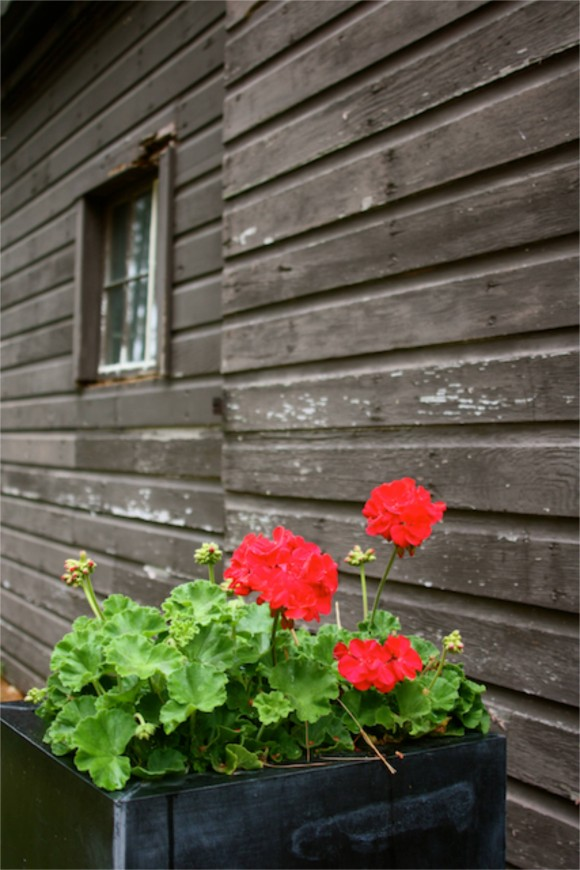 red geraniums in front of studio g barn www.pithandvigor.com