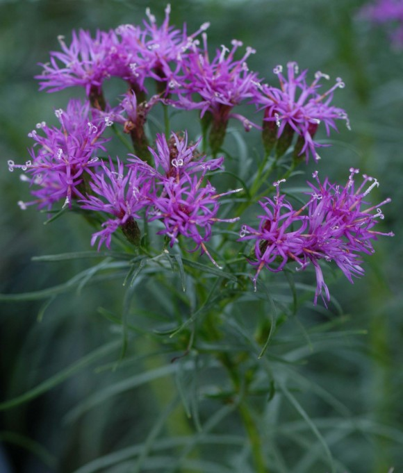 Vernonia lettermannii 'Iron Butterfly'