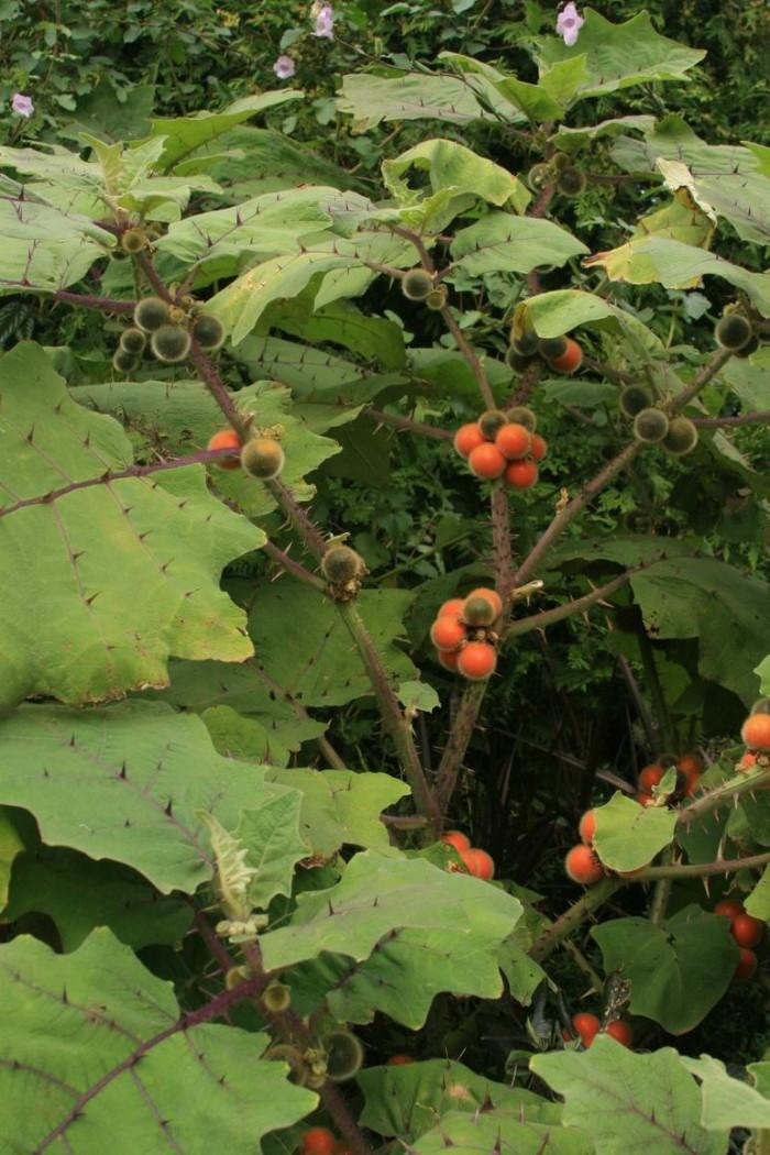 Solanum-with-fruit