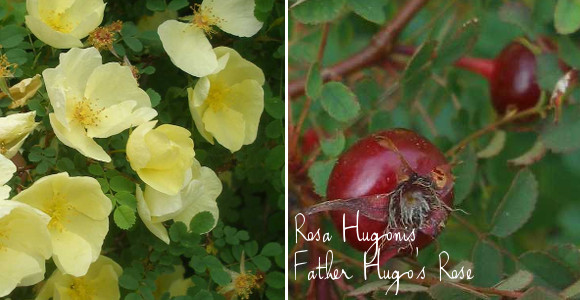 father hugo rose with hps via www.pithandvigor.com